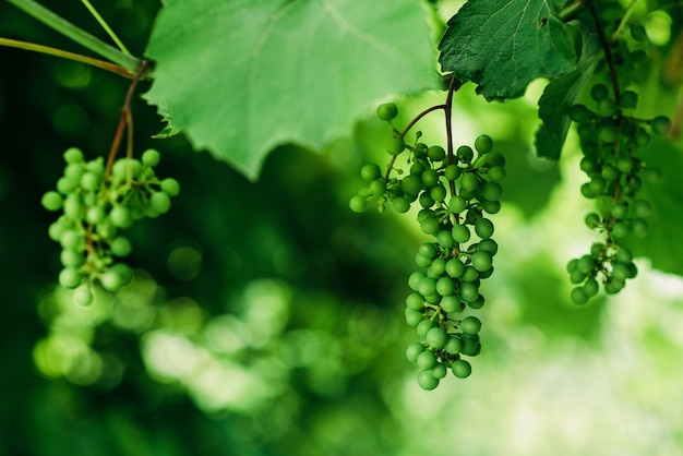 緑の未熟なワイン用ブドウは、ブドウ園、ワイン栽培、ソフトセレクティブフォーカスに集まっています。
