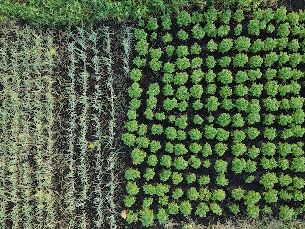 Green vegetable garden, aerial view