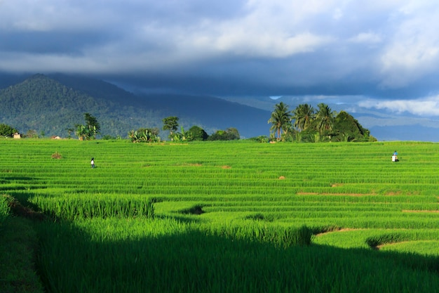 Green views of rice fields and farmers during the daytime in indonesia