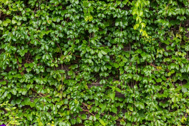 Green vine growing on wooden wall,