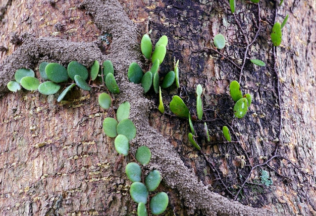 Green vines and termite houses on tree trunks