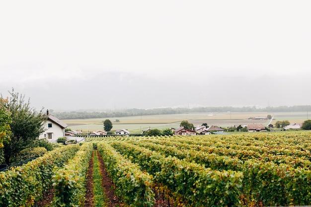 Зеленые виноградники во франции в сентябре живописный вид. немного туманно. фото высокого качества