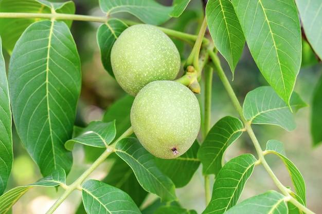 Зеленые грецкие орехи на ветке дерева