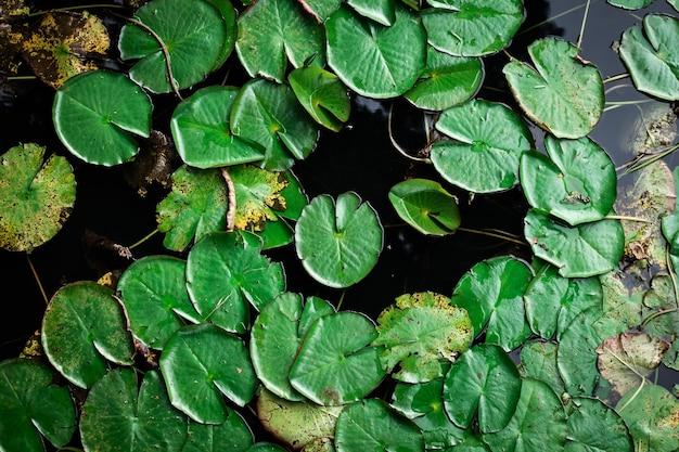 水に浮かぶ緑の睡蓮