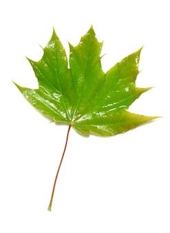 白で隔離される緑の湿ったカエデの葉