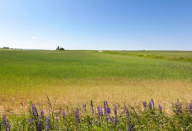 Green wheat agricultural field with growing colors of blue lupine on the edge. summer landscape with blue sky
