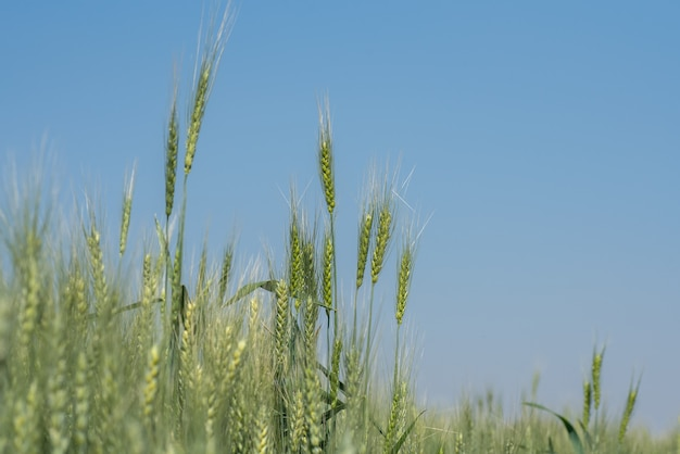 有機農地の緑の小麦