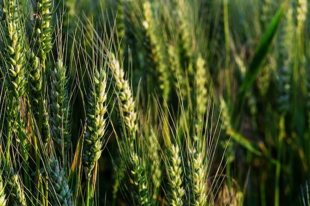 Зеленый фон пшеницы. поле созревания злаков. колоски пшеницы