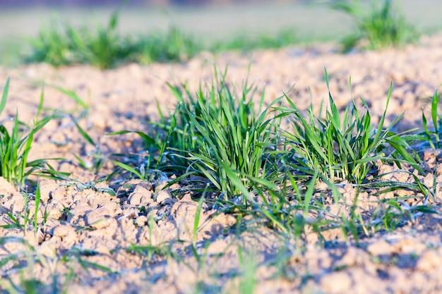 Зеленая пшеница, крупный план - сфотографированный крупный план молодых зеленых побегов пшеницы в каплях росы,