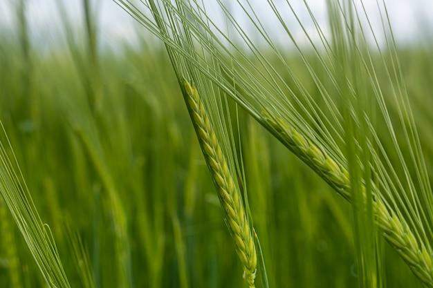 Зеленые колосья пшеницы крупным планом в природе