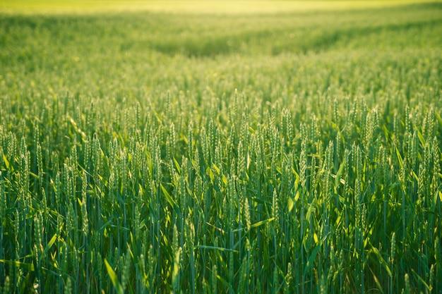Green wheat field against sun background