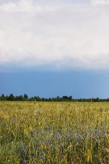 녹색 밀밭과 흐린 하늘입니다. 밀과 시리얼을 뿌린 농장 들판. 보리와 귀리의 이삭. 음식을 위한 빵이 있는 농업 정원. 산업 주식 테마입니다.