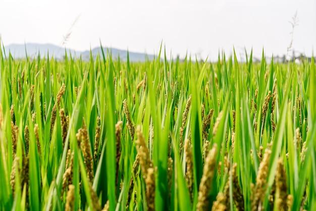 Зеленое пшеничное поле и солнечный день