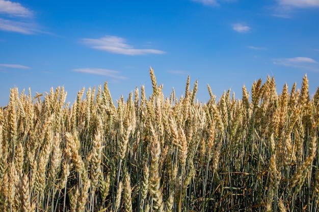 Green wheat field. beautiful nature sunset landscape. background of ripening ears of meadow wheat field.