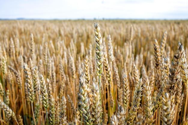 緑の小麦畑。美しい自然の夕日の風景。