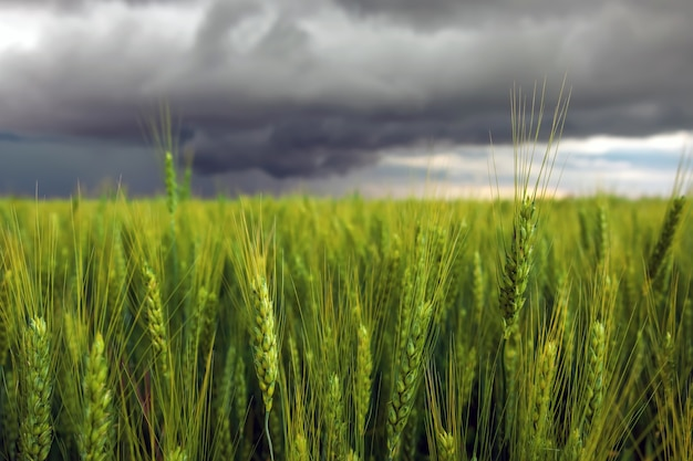 Green wheat field close-up and stormy cloudy sky. composition of nature