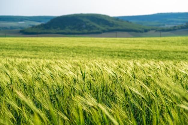 시골에서 녹색 밀밭을 닫습니다. 화창한 봄 날에 바람에 날리는 밀의 분야. 젊고 녹색 spikelets. 자연에서 보리 작물의 귀. 농업 경제학, 산업 및 식량 생산.