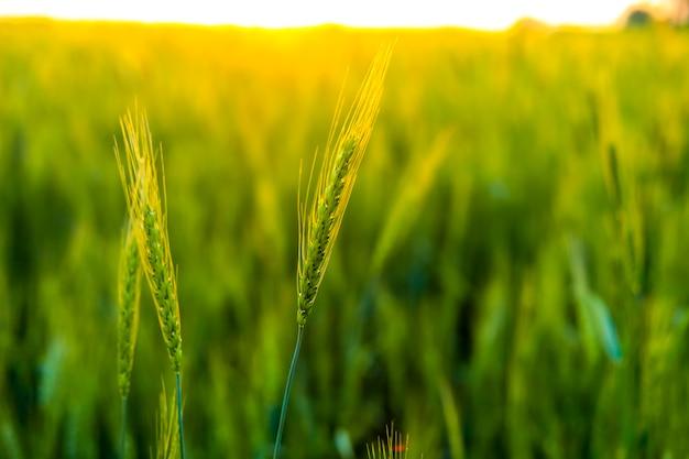 Поле зеленой пшеницы в индии