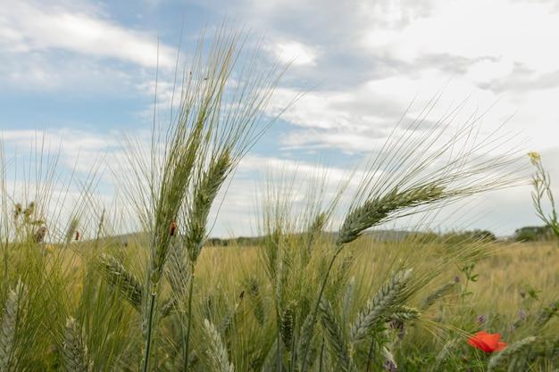 프랑스에서 봄에 녹색 밀밭