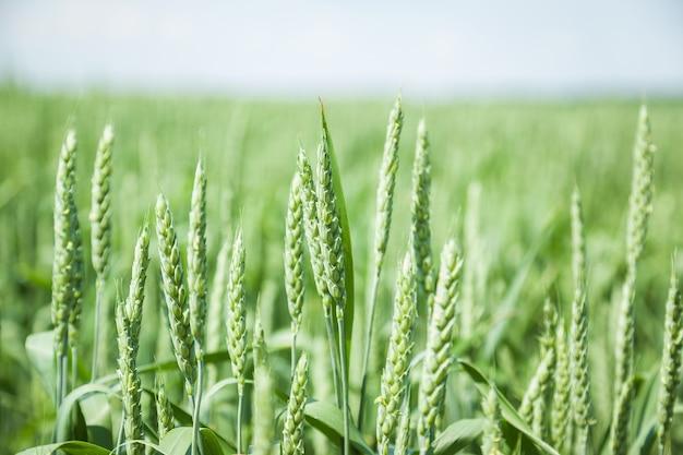 Зеленое пшеничное поле в солнечный летний день