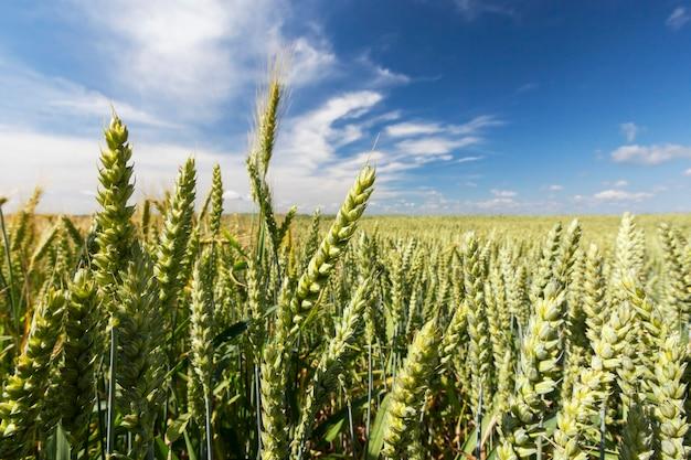 Зеленое пшеничное поле