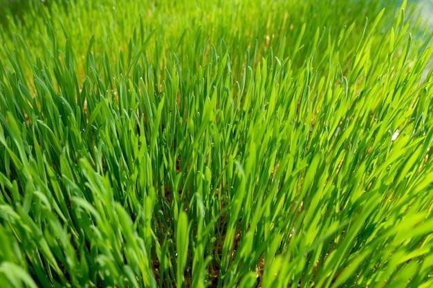 Green wheat glass
