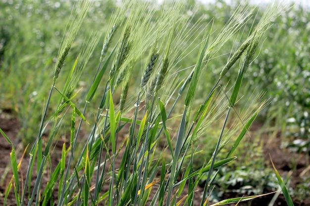 녹색 밀 잔디 귀