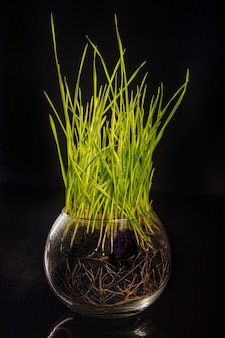 Green wheat grass in glass bowl on black background, vertical composition  - image
