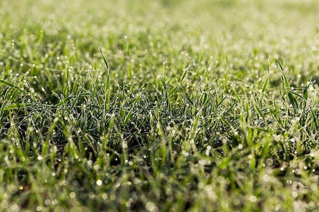 農地で育つ緑の小麦