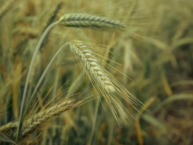 耕作された農業分野の緑の小麦の頭、レトロなトーンの農業植物開発の初期段階。被写界深度が浅いセレクティブフォーカス