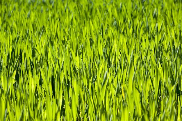 緑の小麦の風景
