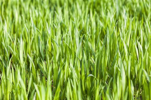 農地の緑の小麦または他の穀物、収量と利益のための農業、日光によって後ろから明るく照らされた小麦の穀物