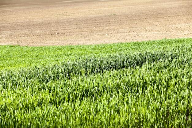 農地の緑の小麦または他の穀物作物の生産と利益のための農業