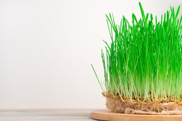 곡물과 함께 녹색 밀 싹. 복사를위한 공간이있는 측면보기. 건강 식품의 개념, 슈퍼 푸드.