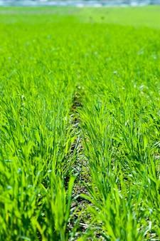 春に育つ青麦もやし