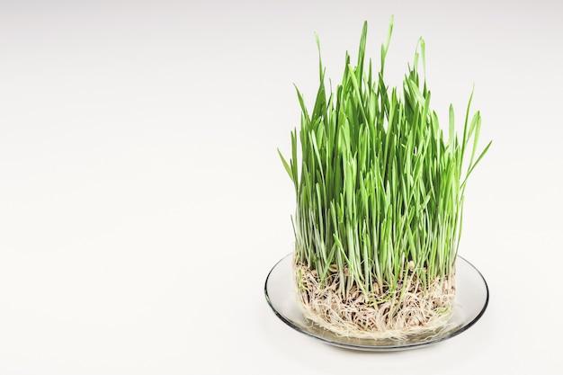 유리 접시, 복사 공간에 녹색 밀 콩나물. 건강한 음식.