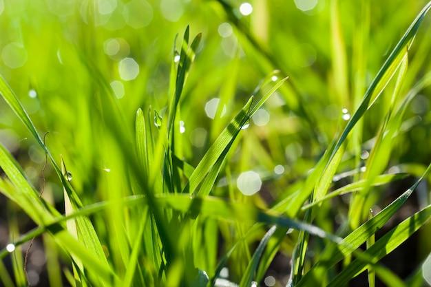 Зеленые ростки пшеницы с каплями росы и конденсата в солнечную погоду