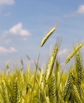 Зеленая пшеница