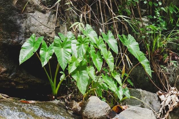 Green wild colocasia esculenta growing in the river eco plant in nature of rain forest