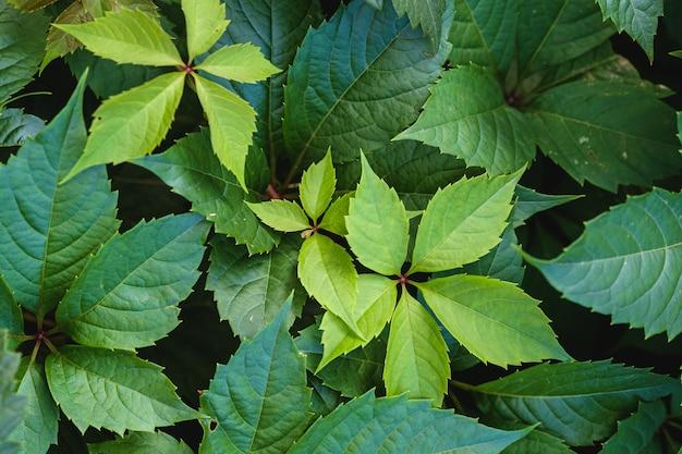Зеленые листья дикого винограда