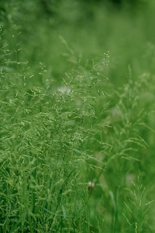 Green wild grass on the sidelines. close-up.