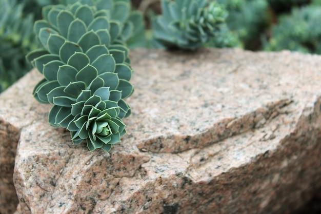 石の大理石の背景に成長する緑の野生の多肉植物
