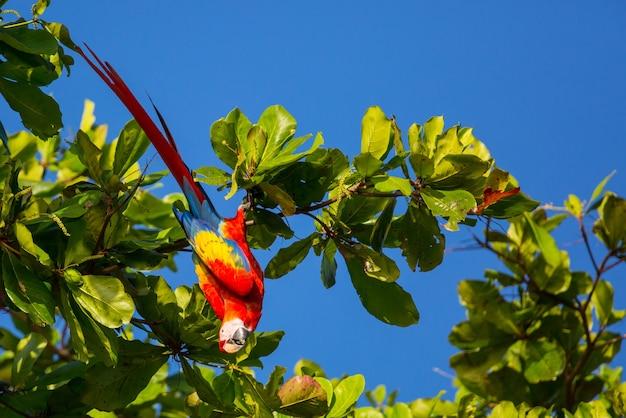 野生のベニコンゴウインコ、コスタリカ、中央アメリカ