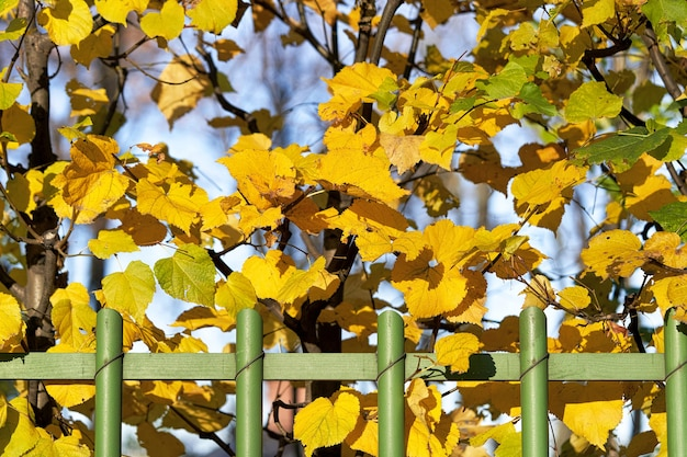 Green wooden hedge with yellow autumn leaves background