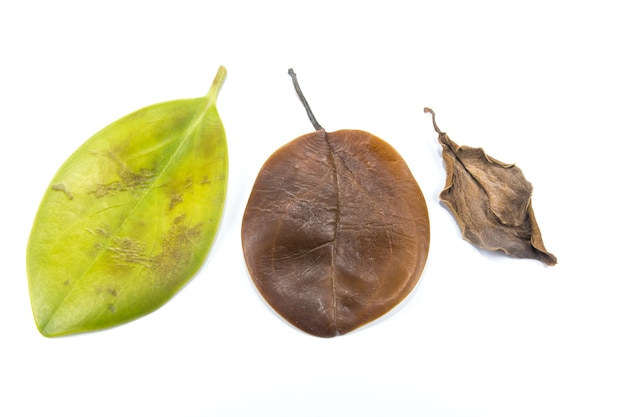 Зеленые, желтые и коричневые листья потемнели и засохли на белом фоне. листовая инфекция и болезнь. плохая экология и экология. концепция природы. закройте вверх. разные сезоны.
