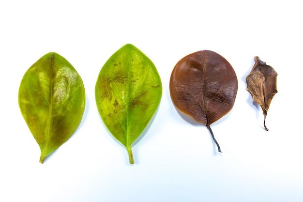 緑、黄、茶色の葉が暗くなり、白い背景で枯れてしまいました。葉の感染症と病気。悪い環境とエコロジー。自然の概念。閉じる。さまざまな季節。