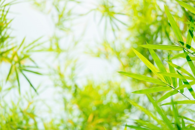 Green and yellow bamboo leaves background in the nature.