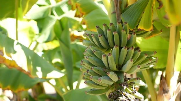 緑黄色のバナナの木の果樹の束、エキゾチックな熱帯の葉、日光、農業農場のプランテーション