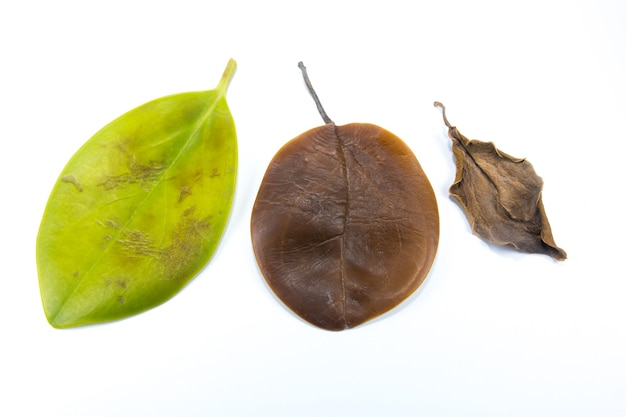 Green, yellow and brown leaves turned dark and withered on a white background. leaf infectious and disease. bad environment and ecology. nature concept. close up. different seasons.