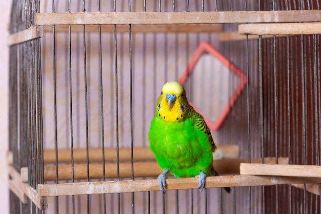 A green and yellow budgerigar bird is sitting in his cage